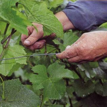 Werk in de wijngaard in juni