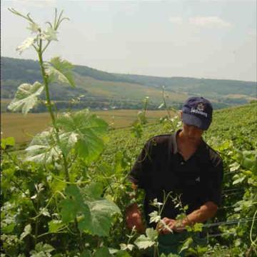 Werk in de wijngaard in juli