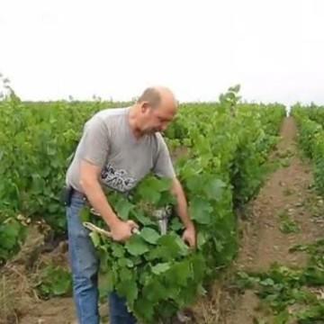 Werk in de wijngaard in augustus