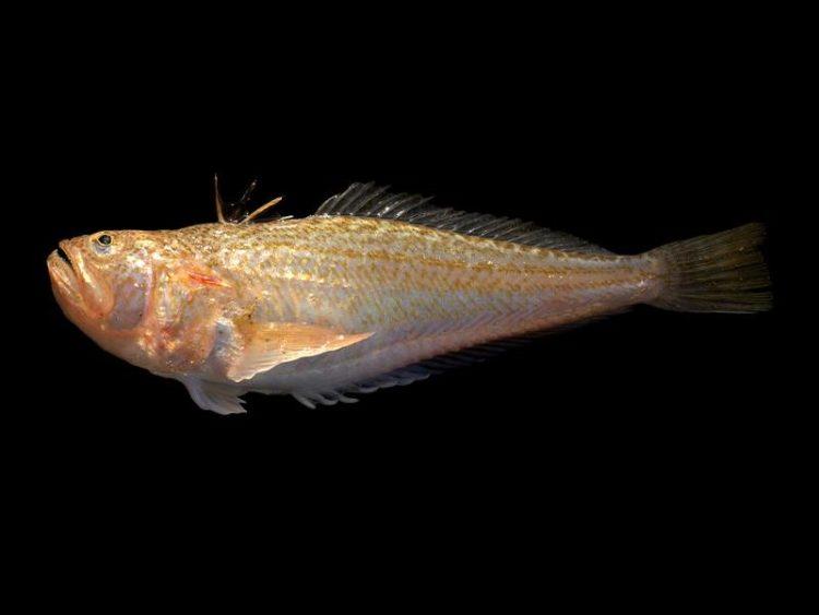 pieterman vis tegen zwarte achtergrond