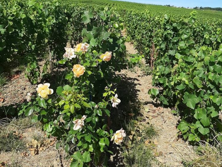 rozenstruik aan het begin van een rij druivenplanten